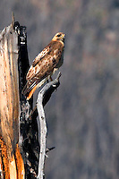 Red-tailed hawks (Buteo jamaicensis) are a fairly common sight in Yellowstone. In fact, when identifying hawks here it is a safe bet, that is is a red-tailed unless you can prove otherwise. As is the case with many raptors the Red-tailed Hawk displays sexual dimorphism (remarkable differences between the male and female). Females are up to 25% larger than males. Tuff Cliff, Yellowstone.