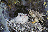 Prairie falcon (Falco mexicanus) feeding ground squirrel to young at nest on rock cliff face, Western U.S.