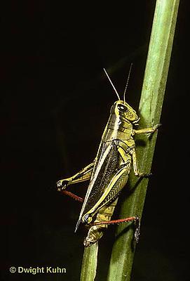 """OR02-011z  Grasshopper - short horned or """"true"""" grasshopper,as two-striped grasshopper - Melanoplus bioittatus"""