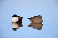Northern Shoveler (Anas clypeata), male and female resting in a pond at Riparian Preserve at Water Ranch, Gilbert, Arizona.