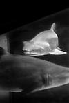 """Ghosts""<br /> Shark Enclosure<br /> Coney Island Aquarium<br /> Coney Island , NY<br /> From the ""Captivity"" series<br /> © Thierry Gourjon-Bieltvedt"