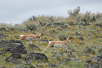Pronghorn Antelope (Antilocapra americana)--buck chasing doe during fall rut.  He is attempting to herd her back to his harem.  A common activity during the rut.  Running through such rocky, rough terrain frequently leads to broken legs or other injuries.