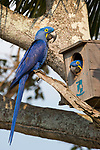 A pair of Hyacinth Macaw (Anodorhynchus hyacinthinus) at their nest box. Araras Lodge, Mato Grosso, Northern Pantanal, Brazil.