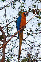 The Blue-throated Macaw is about 85 cm (33 in) long including the length of its tail feathers, and weighs about 750 g (27 oz). It has vivid colours with turquoise-blue wings and tail, and bright yellow underparts and blue undertail coverts. The throat is blue and continuous with its blue cheeks. It has a large black bill. Bare skin at the base of the beak is pink and pale bare skin on the sides of the face is partly covered with lines of small dark blue feathers