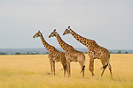 With a warm savannah breeze swaying the golden grasses, two male giraffes follow a female walking across the plain in Masai Mara, Kenya.