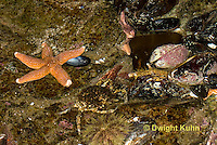1C34-528z  Common Spider Crab camouflaged among tide pool animals, Libinia emarginata