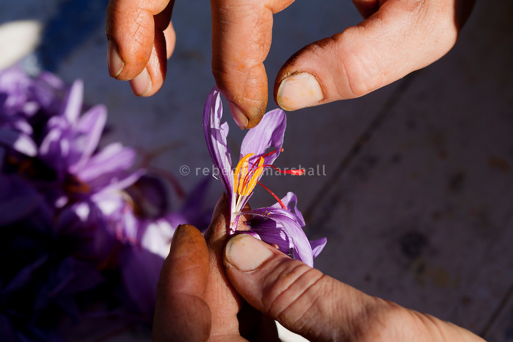 Separating the stigma from the rest of a saffron flower in preparation for drying, La Ferme Lavancia, Puget-Théniers, France, 25 October 2013. The stigma contain a carotenoid dye, crocin, which colours dishes and textiles a rich golden-yellow hue.