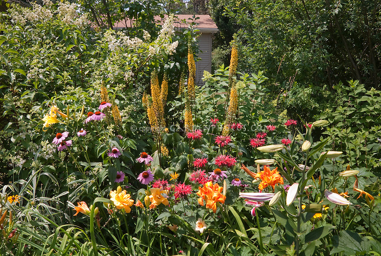 Ligularia, Echinacea, hemerocallis daylilies, Monarda, Lilies Lilium, ? Heptacodium or Hydrangea shrub in summer perennial flower garden