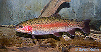 """1214-0907  Rainbow trout or Inland Redband Trout, Oncorhynchus mykiss or Salmo gairdneri """"from New England, United States""""  © David Kuhn/Dwight Kuhn Photography"""