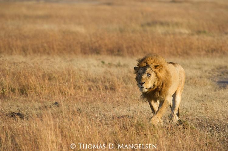 A lone lion walks across the plains of Maasai Mara, Kenya.