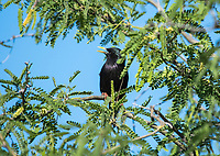 European Starling, Sturnus vulgaris, perches in a Mesquite tree in the Desert Botanical Garden, Phoenix, Arizona