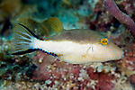 Canthigaster rostrata, Sharpnose puffer, Florida Keys