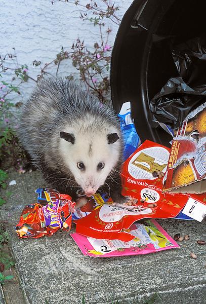 VIRGINIA OPOSSUM raiding home garbage..British Columbia, Canada..Summer. (Didelphis virginiana)..