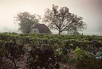 Europe/France/Midi-Pyrénées/46/Lot/Vallée du Célé/Saint-Sulpice: Matin brumeux sur les vignes