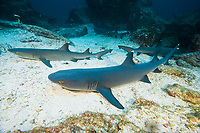 Whitetip reef sharks, Triaenodon obesus, Cocos Islands, Costa Rica, Pacific Ocean