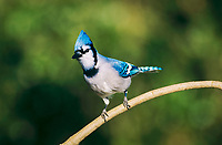 blue jay, Cyanocitta cristata, adult perched, San Antonio, Texas, USA, North America