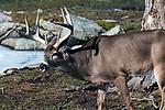 whitetail deer buck, full side image facing left late Winter