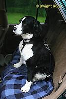 SH25-509z English Springer Spaniel in car harness