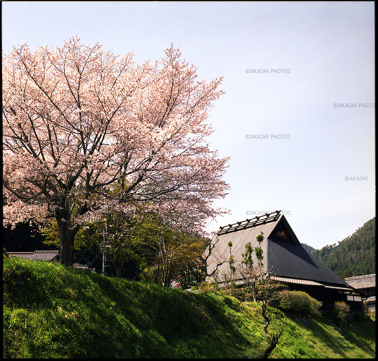 Cherry blossom and a Japanese traditional house in Ohara, Kyoto.<br /> <br /> Fleur de cerisier et maison traditionnelle japonaise à Ohara, Kyoto.