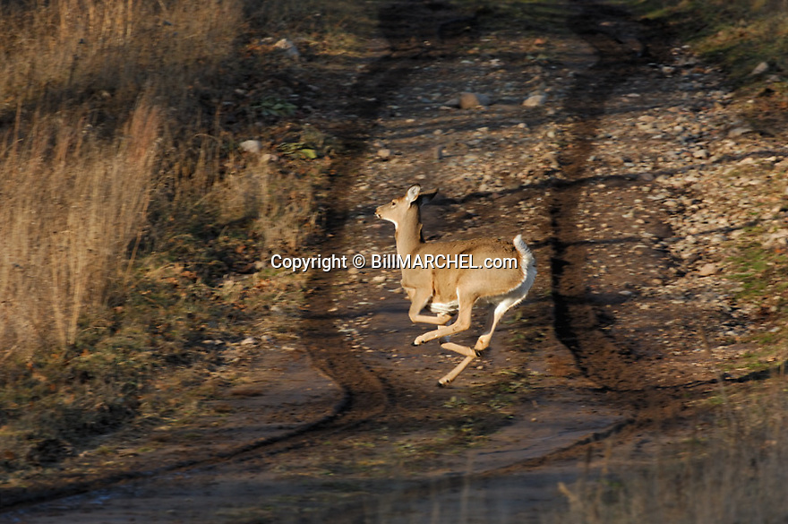 00275-196.18 White-tailed Deer (DIGITAL) doe is bounding with tail raised across muddy road during fall.  Hunting, auto, roadkill.  H3L1