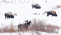 Bull moose in the eastern Lamar Valley were in the process of losing their antlers during this trip, and this fellow seemed to be the last holdout.