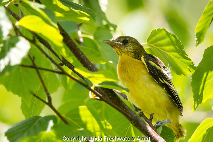 Baltimore oriole fledgling
