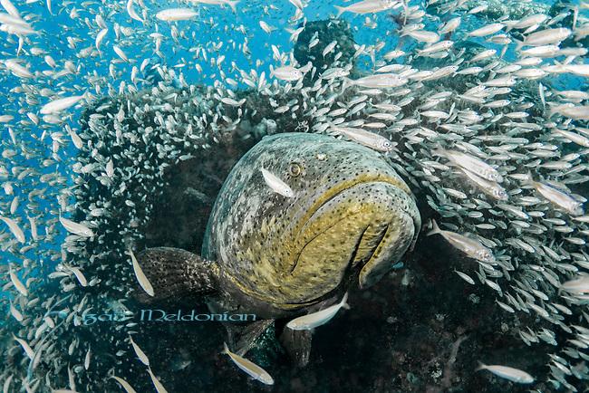 Atlantic goliath grouper in bait fish, endangered species, Epinephelus itajara, Goliath Groupers and bait balls, itajara, IUCN Red List vulnerable, jewfish, sardines, spawning event, MG111, Jupiter, FLA