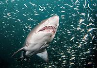 sand tiger shark, Carcharias taurus, off the coast of North Carolina, USA, Atlantic Ocean