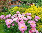 Vashon Island, Washington: Peony 'Soft Salmon Joy' in full bloom in perennial garden with potting shed