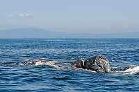 gray whale, Eschrichtius robustus, gray whale mother upside down at surface with calf on top of her, calf's head above water, eye visible, mother trying to protect calf from attack by killer whale (not seen), Monterey Bay National Marine Sanctuary, California, USA, East Pacific Ocean