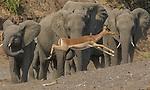 Impala and African elephants, Mashatu, Botswana