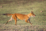 Indian Wild Dog or Dhole (Cuon alpinus) running - cashing Spotted Deer or Chital. Pench National Park, Madhya Pradesh, India.