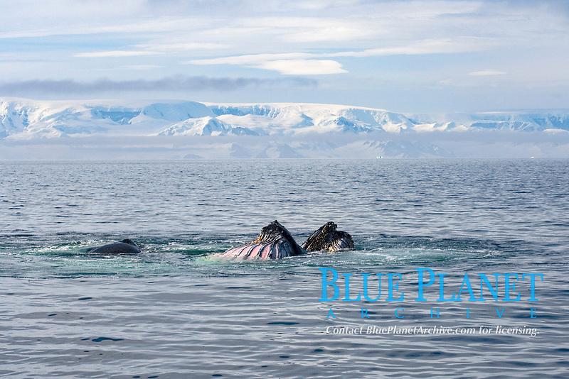 humpback whale, Megaptera novaeangliae, pair feeding in the waters off the western Antarctic Peninsula, Antarctica, Southern Ocean
