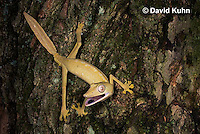 1004-0805  Lined Leaf-tailed Gecko Climbing, Uroplatus lineatus © David Kuhn/Dwight Kuhn Photography.