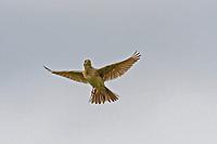 Feldlerche, Feld-Lerche, Lerche, singend am Himmel, im Flug, Singflug, Flugbild, Alauda arvensis, Skylark, Lark, Alouette des champs