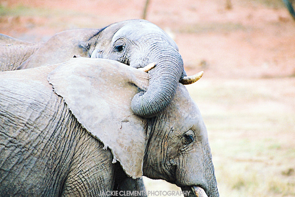 An elephant tickles the ear of his mate