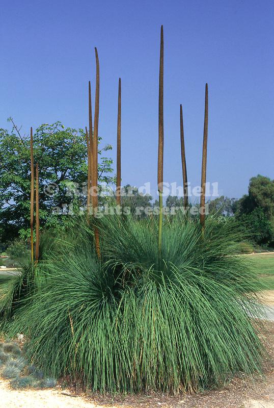 10944-CI Square Leaf Grass Tree, Xanthorrhoea quadrangulata, Los Angeles State & County Arboretum, Aradia, CA