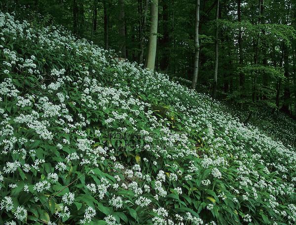 Bear's Garlic, Allium ursinum, blooming on forest floor, Zug, Switzerland