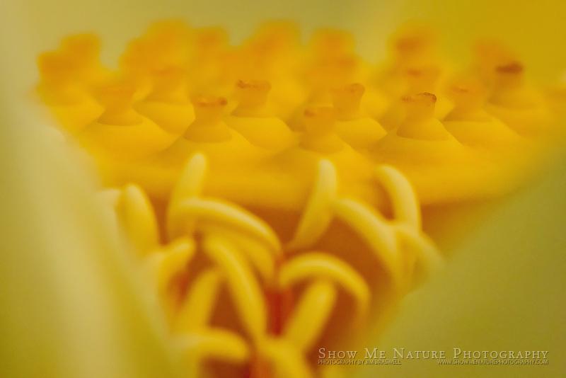 American Lotus wildflower closeup