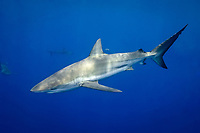Dusky Shark, Carcharhinus obscurus, in the Gulf of Mexico, Atlantic