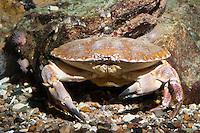 Taschenkrebs, Cancer pagurus, European edible crab, brown crab