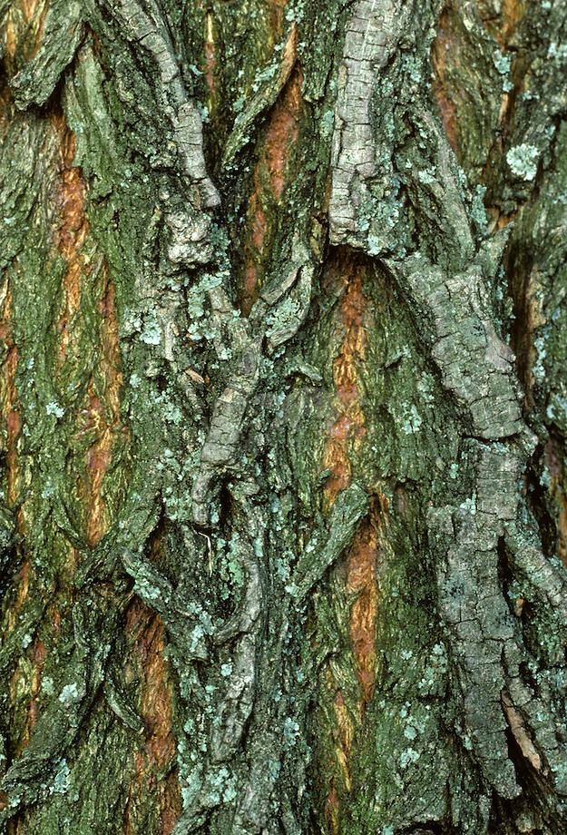 Wilg (Salix spec.)