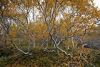 Moor-Birke, Herbstfärbung, herbstlich, Herbstlaub, Moorbirke, Haar-Birke, Besen-Birke, Behaarte Birke, Betula pubescens, syn. Betula alba, downy birch, moor birch, white birch, downy-birch, moor-birch, white-birch, European white birch, hairy birch. Island, Birkenwald, Iceland