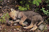 Tired Gray Wolf pup (Canis lupus).  June