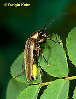 1C24-565p   Firefly Adult - Lightning Bug - Photuris spp.