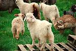 Steam Valley Fiber Farm..Angora Sheep