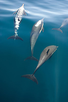 Common dolphins (Delphinus delphis) Gulf of California.Three common dolphin in various stages of surfacing., Baja California, Mexico, Pacific Ocean