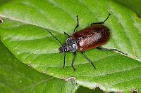 Pflanzenkäfer, Pflanzen-Käfer, Omophlus spec., Odontomophlus spec., Comb-clawed beetle, Comb clawed beetle, Pflanzenkäfer, Alleculidae