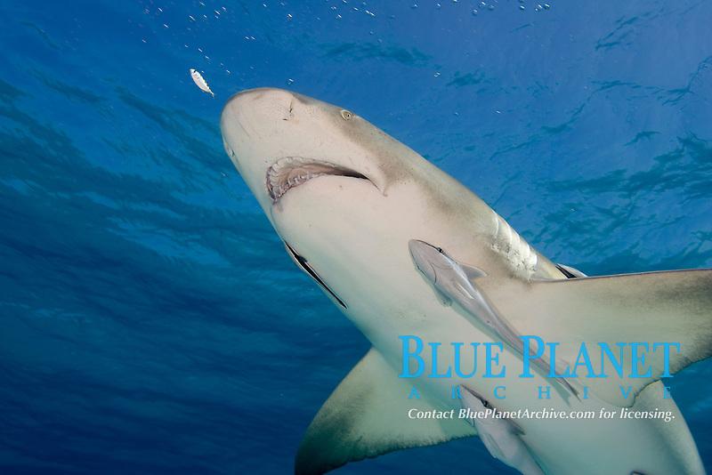 Lemon shark with remoras. Negaprion brevirostris.