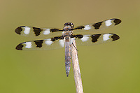 Twelve-spotted Skimmer (Libellula pulchella) Dragonfly - Male, Wallkill National Wildlife Refuge, Sussex, Sussex County, New Jersey